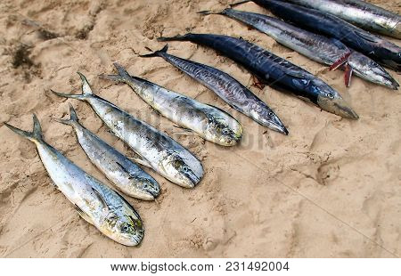 Freshly Caught Fish Is Located In The Bright Sand On A Beach In The Seychelles
