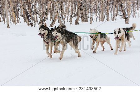 Kamchatka Sled Dog Racing Beringia, Russian Cup Of Sled Dog Racing