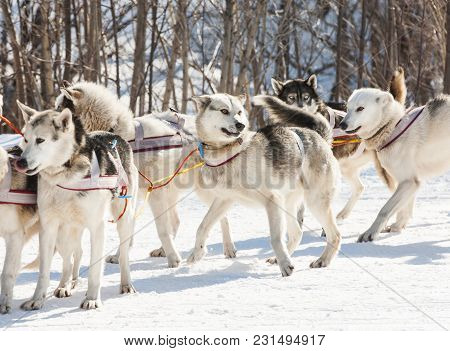 Siberian Husky In Harness  Ready To Start