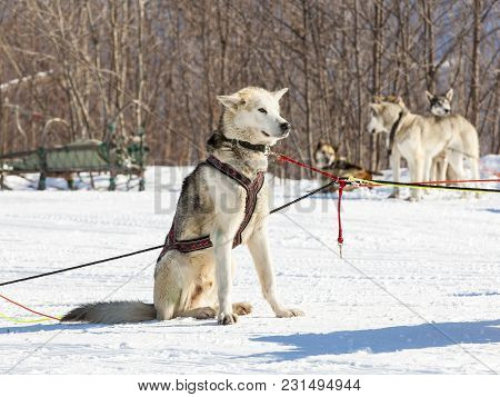 Husky Sled Dogs Wait For A Rest On The Snow