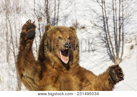 Taxidermy Of A Kamchatka Brown Bear In Forest On Winter