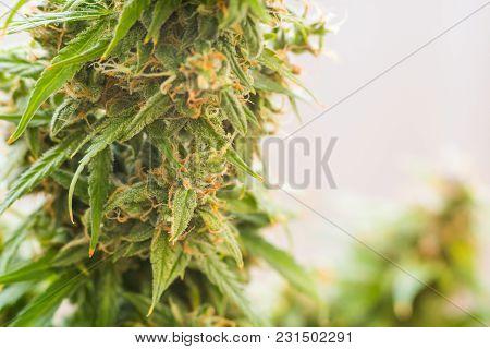 Medicinal Marijuana Cbd Thc. Bud Cannabis, Concepts Of Legalizing Herbs Weed, Macro Shot With Sugar