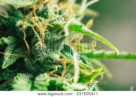Buds Cannabis Sugar Trichomes Cbd Thc Shot , With Macro Buds Of Medicinal Marijuana . Concepts Of Le