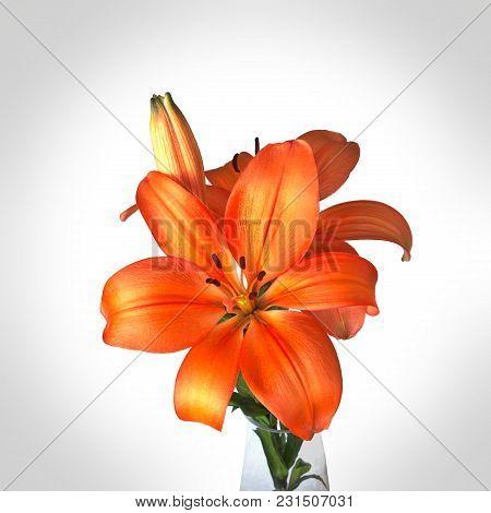 Orange Lily, Hemerocallis Lilium Bulbiferum, Lillies On White Background