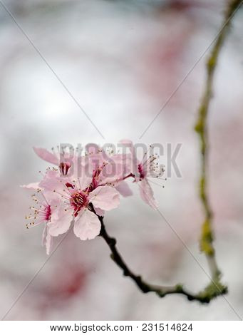 Cherry Flowers On A Single Branch