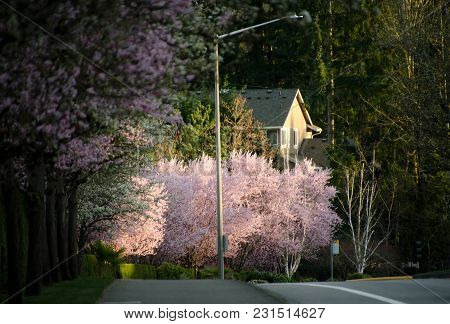 Early Sunset Highlights Blooming Cherry Trees In Seattle Suburb - 1
