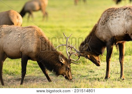 Bull Elk Fight For The Chance To Mate With The Local Females