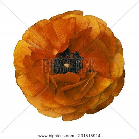 Ranunculus  Yellow-brown.   Bright Flower  Buttercup  On  Isolated  White Background With Clipping P