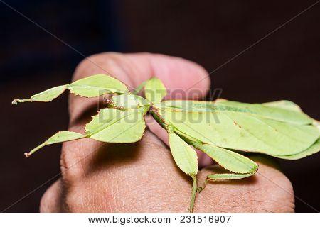 Female Leaf Insect (phyllium Westwoodi)