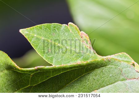 Male Leaf Insect (phyllium Westwoodi)