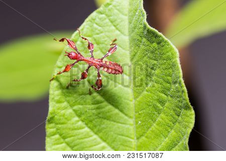 Young Leaf Insect (phyllium Westwoodi)
