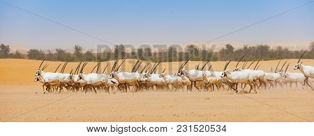 Arabian Oryx Or White Oryx (oryx Leucoryx) In The Desert In The Emirate Of Abu Dhabi In The Uae. It