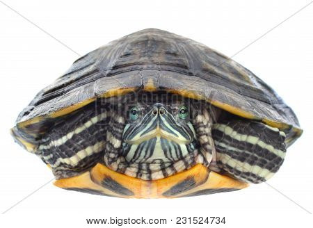 Red-eared Slider Animal Closeup Isolated On White