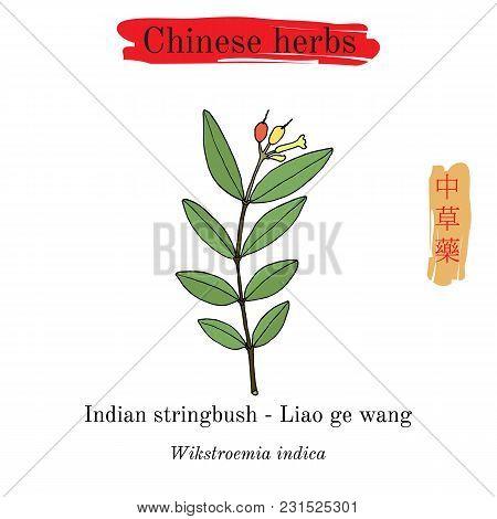 Medicinal Herbs Of China. Indian Stringbush Wikstroemia Indica . Hieroglyph Translation Chinese Herb