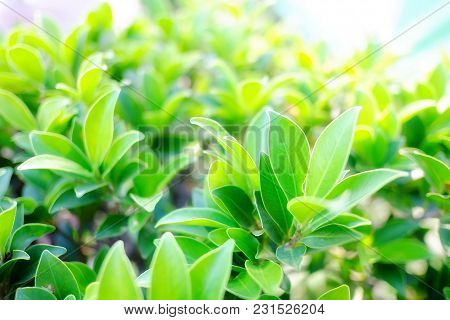 A Tropical Fence Bush Plant At The Garden With Soft Light For Foliage Green Background