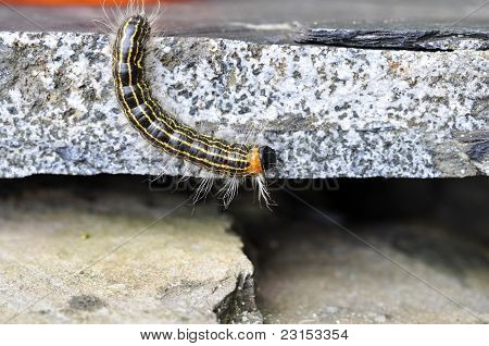 Green yellow and oragne caterpillar climbs rocks