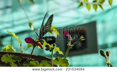 Beautiful Insect In Natural Habitat In Nursery. Rice Paper Or Large Tree Nymph Butterfly Paper Kite