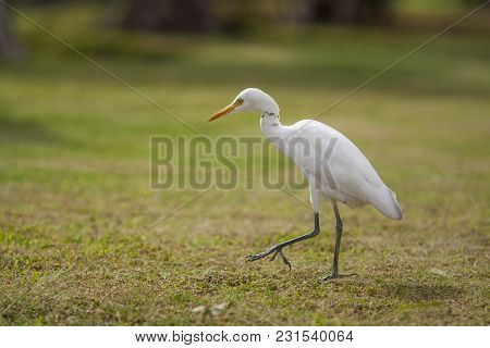 A White Little Heron Walks Through Bushes And A Green Glade