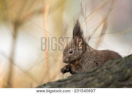 Cute Black Squirrell. Squirrell Looks Surprised. Requests For Nut.