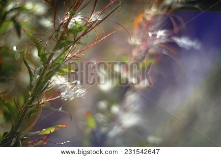 Romantic Colorful Soft And Blurry Summer Nature Background With Willow-herb And White Fluffs In Suns