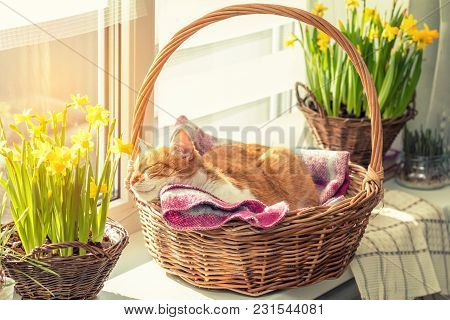 Morning Sunlight On The Sleeping Red Cat. Cute Funny Red-white Cat On The Windowsill In Basket With