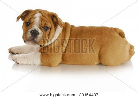 cute puppy - english bulldog puppy laying down looking at viewer on white background - nine weeks old