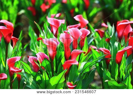 Calla Lily Field Closeup,beautiful Red Flowers Of Calla Lily Blooming In The Garden In Spring,arum L