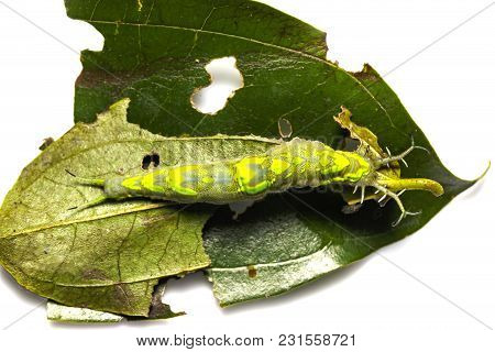 Top View Caterpillar Of Common Pasha Butterly ( Herona Marathus ) Resting On Leaf