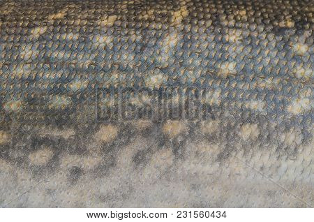Fishing Camouflage Background Of Pike Fish Scale Skin