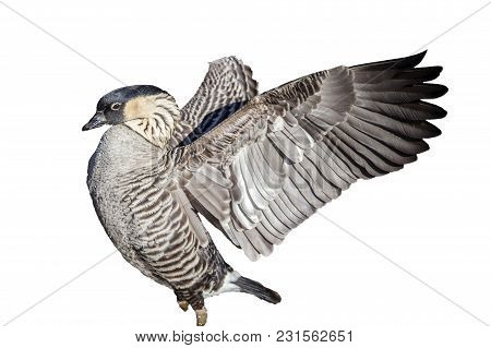 Nene Goose Bird Cut Out And Isolated On A White Background