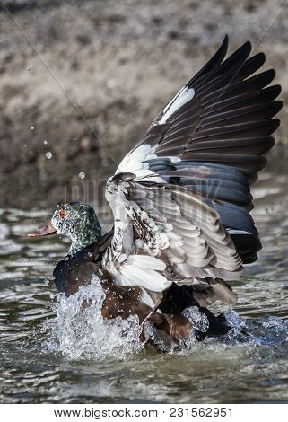 White Winged Wood Duck (asarcornis Scutulata) Bird With Its Feather Wings Outstretched