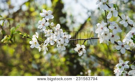 Lots Of Plum Flowers As A Spring Background