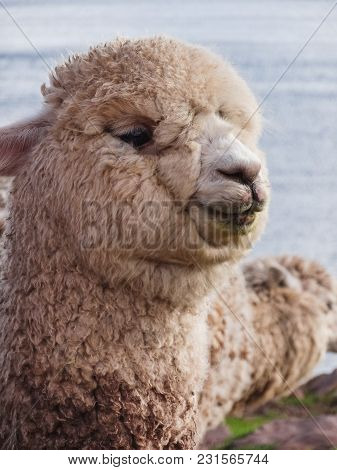 Close Up Of White Alpaca Looking Straight Ahead In Peru