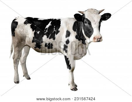 Spotted Black And White Cow Full Length Isolated On White. Funny Cute Cow Isolated On White. Young C