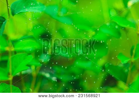 Dew On A Spider Web On A Green Grass Background In Garden