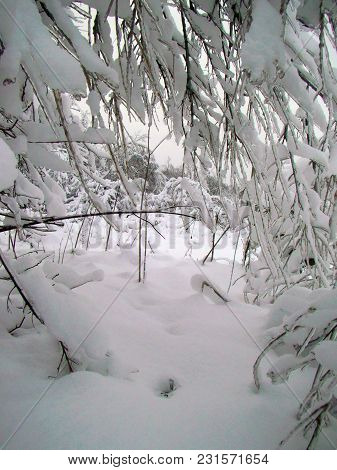 Forest Landscape After Heavy Snowfall In Winter