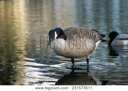 Close-up Of A Perching Canada Goose In The Water. View To A Standing Canada Goose In The Lake. A Can