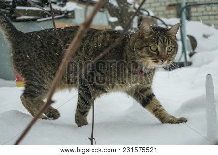 Cat In The Winter Outdoors In Snowflakes Under A Snowfall
