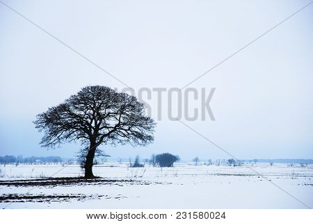 Big Bare Lone Oak Tree In A Snowy Landscape