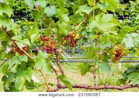 Bunches Of Growing Seedless Grapes On A Vine In A Vineyard