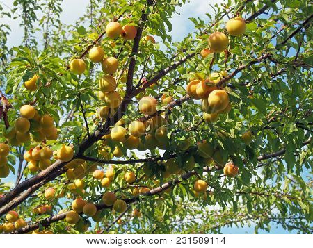 Plum Trees In A Garden Plentifully Covered With Ripe Fruits