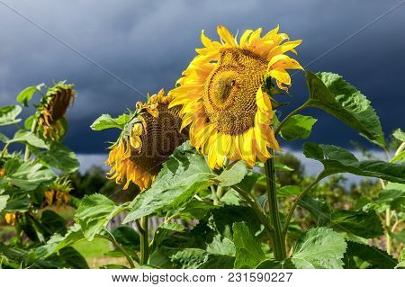 Beautiful Yellow Sunflowers Against The Dark Cloudy Sky Background