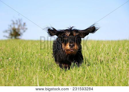 Funny Wire Haired Dachshound Is Running In The Garden