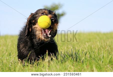 Funny Wire Haired Dachshound Is Playing With A Ball In The Garden