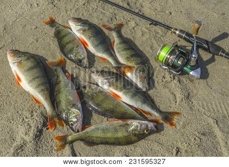 Perch Fish With Fishing Tackles On Sand Shore. Fishing Background