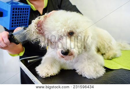 Groomer Blowdrying The Hair Of A Small White Dog