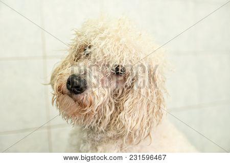 Portrait Of A Cute Wet White Dog