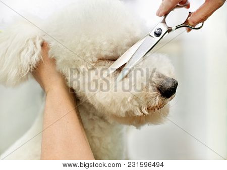 Groomer In A Grooming Salon Trimming A White Dog