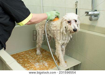 Groomer In A Pet Salon Washing A White Dog