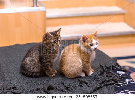 Two Cute Tabby Kitten Grey And Red Sitting On The Bed On A Gray Plaid